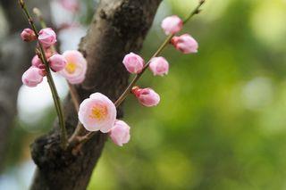 【占い通信】咲き始めの梅