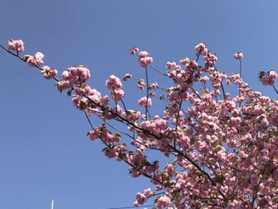【占い通信】八重桜のメッセージ