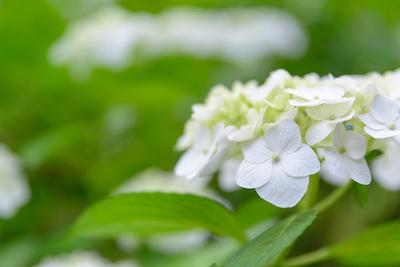 【占い通信】紫陽花の占い